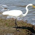 Great Egret by Ken Keener