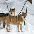 Two Grey Wolves by Arterra Picture Library