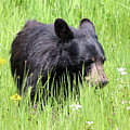 American Black Bear Yellowstone Usa by Bob Savage
