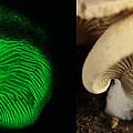 Luminescent Mushroom, Panellus Stipticus by Ted Kinsman