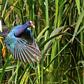 Purple Gallinule by Lindy Pollard