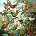 1899 Hummingbird Species Art Forms Of Nature Print by Retro Graphics