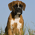 Boxer Puppy by Jean-Louis Klein & Marie-Luce Hubert