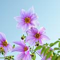 Fully Bloomed Pink Dahlia Imperialis At Garden In November by Eiko Tsuchiya