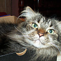 Maine Coon Cat by Michael Munster