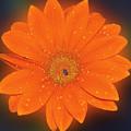 Orange Gerber by Elvira Ladocki