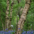 Shallow Depth Of Field Landscape Of Vibrant Bluebell Woods In Sp by Matthew Gibson