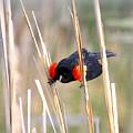 1911 - Red-winged Blackbird by Travis Truelove