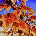 #199 Red Maple by William Lum