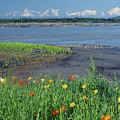 1m1439 Alaska Poppies And Tenana River by Ed Cooper Photography