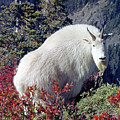 1m4900 Mountain Goat Near Mt. St. Helens by Ed Cooper Photography