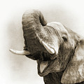 African Elephant Closeup Square by Susan Schmitz