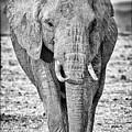 African Elephants In The Masai Mara by Perla Copernik