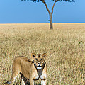 African Lioness Panthera Leo, Serengeti by Panoramic Images