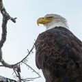 American Bald Eagle by Carolyn Fox