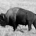 American Bison Buffalo Bull Feeding On Dry Fall Grass by Donald Erickson