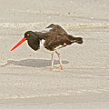 American Oystercatcher, Haematopus Palliatus,  Looking For Food  by Marek Poplawski