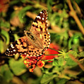 American Painted Lady by Robert Bales