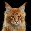 Angry Ginger Maine Coon Cat Gazing On Black Background by Sergey Taran
