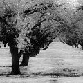 Apple Orchards In Dixon by Peggy Leyva Conley