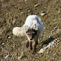 Arctic Fox by Anthony Jones