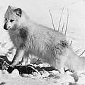 Arctic Fox by Granger