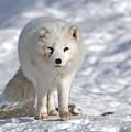 Arctic Fox... by Nina Stavlund