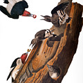Audubon: Woodpecker by Granger