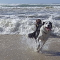 Australia - Border Collie Runs Out Of The Surf by Jeffrey Shaw