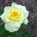 Australia - Yellow Rose Flower by Jeffrey Shaw