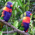 Australia - Two Brightly Coloured Lorikeets by Jeffrey Shaw