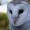 Australian Barn Owl by Sean Foreman