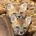 Baby Fox Kits by Ken Keener