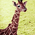 Baby Giraffe by Jim And Emily Bush