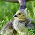 Baby Goose Chick by Jeramey Lende