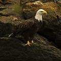 Bald Eagle by Catherine Simonson