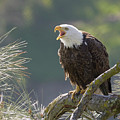 Bald Eagle by Doug Herr