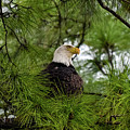 Bald Eagle by JS Photography