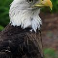 Bald Eagle by Larah McElroy