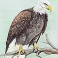 Bald Eagle by Morgan Fitzsimons
