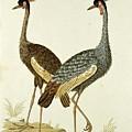 Balearica Regulorum Grey Crowned Crane, Robert Jacob Gordon, 1777 - 1786 by Robert Jacob Gordon