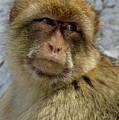 Barbary Macaque Looking Away In Annoyance by Sami Sarkis