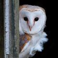 Barn Owl by Phil Scarlett