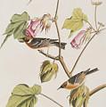 Bay Breasted Warbler by John James Audubon
