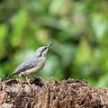 Beautiful Nuthatch Bird Sitta Sittidae On Tree Stump In Forest L by Matthew Gibson
