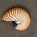 Bellybutton Nautilus - Nautilus Macromphalus by Anthony Totah