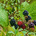 Berries In Vicente Perez Rosales National Park Near Puerto Montt-chile  by Ruth Hager