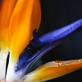Bird Of Paradise by Linda  Parker