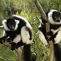 Black And White Ruffed Lemur by Michele Burgess