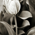 Black And White Tulip by Marilyn Hunt